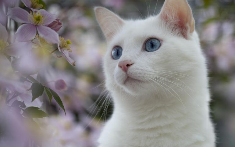 666434-beautiful-white-cat
