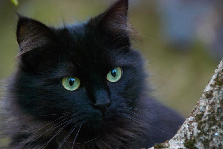 black-cat-375866_960_720