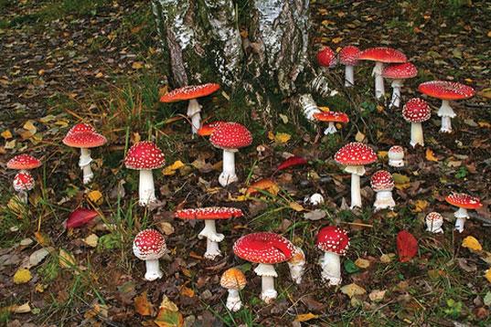 amanita-muscaria-mushrooms.jpg